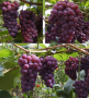 优质着色香葡萄苗-出售金红娃葡萄苗价格-辽宁郁金香葡萄苗厂家