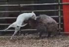 金达血统名犬繁育基地