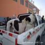 鲁西黄牛牛犊_鲁西黄牛牛犊价格_鲁西黄牛牛犊图片_列表网