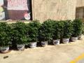 温州办公室绿植