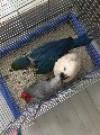 专业繁殖鹦鹉出售