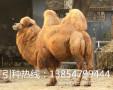 农家特色养殖园出售各种动物、羊驼、鸳鸯、矮马、蓝麻鸡