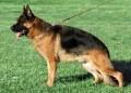 福州哪有可卡犬卖 福州可卡犬价格 福州可卡犬多少钱
