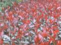眉山中华蚊母文木种植基地