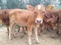 长期出售西门塔尔牛 利木赞牛 鲁西黄牛肉牛犊 提供养殖技术