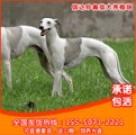 信达猎犬专业养殖基地