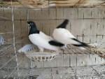 山东华宣特种鸽子养殖场