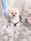 德佳犬舍-博美犬多少钱