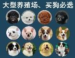深圳正规犬舍(深圳狗场)—宠之恋犬舍