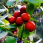 出售绿万洲枸杞叶茶