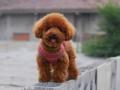 中山小榄哪里有卖宠物狗 中山纯种比熊犬出售 中山比熊犬舍
