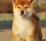 广州纯种柴犬协会部落
