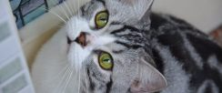 嘉兴英短蓝猫 渐层 蓝白 美短虎斑 起司 折耳(包