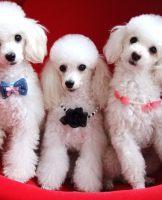 重庆九龙坡出售贵宾犬