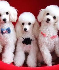 天津贵宾犬领养