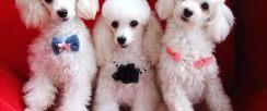 阿布合肥宠物狗专卖店优惠出售贵宾犬