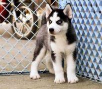 哈士奇幼犬是很正直的,小狗狗