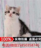 出售美短加白猫折耳猫 纯种美短起司猫幼猫宠物猫活体