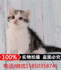 宠物猫 美国短毛猫 美短幼猫活体出售 虎斑美短 加