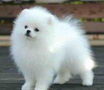 狗狗怀孕的征兆和注意事项