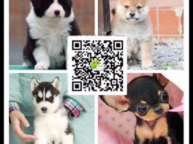 北京哪里有杜宾犬卖 泰迪 藏獒 比熊 高加索多少钱价格