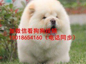 广州正规狗场出售松狮幼犬