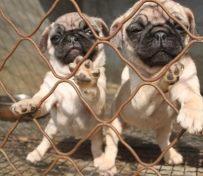 广州八哥犬出售