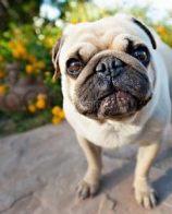 纯种巴哥犬习性 巴哥犬有哪些生活习惯