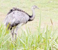 优质鸵鸟 种鸟引进非洲 纯种