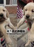 佛山哪里有卖拉布拉多犬 佛山拉布拉多犬多少钱一只