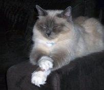 伯曼猫-大连萌猫