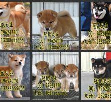 哪里有卖柴犬 广东狗狗养殖场基地