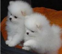 重庆出售博美幼犬 重庆哪里
