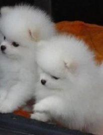 重庆出售博美幼犬 重庆哪里卖纯博美犬 重庆卖博美