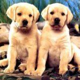 【讲堂】养金毛、德牧、拉布拉多等大型犬的注意!