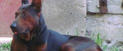 出售花舌莱州红犬幼犬价格图片 哪里有花舌莱州红犬养