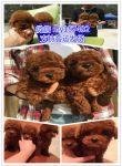 南京犬舍出售各类宠物狗,全场500起价,1-3个月的狗崽