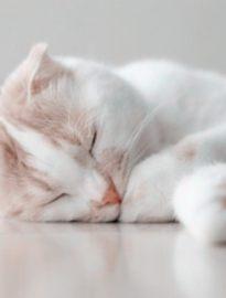 怀化英短蓝猫 渐层 蓝白 美短虎斑 起司 折耳(包纯种健康)