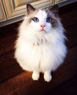 猫发情几天配种 母猫发情怎么解决