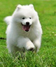 宁波宠物狗专卖店出售萨摩耶
