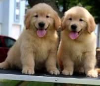 南京金毛幼犬出售