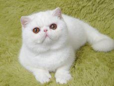 英短蓝白 渐层 蓝猫 美短加白 起司高白猫(包纯种健康)