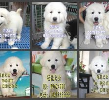 深圳宝安区哪里有卖大白熊 深圳福田区哪里有卖宠物狗