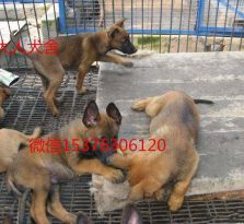 纯种马犬 马犬价格 马犬图片 马犬怎么样 常年出售各种猎犬