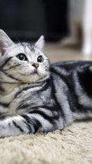巴厘猫吃什么 对身体有营养的食物