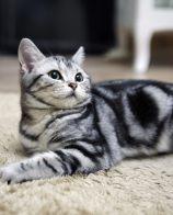 猫发情很难受吗 母猫发情什么样子