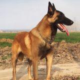 什么样的马犬是纯种马犬