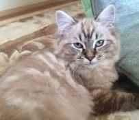 拉邦猫-海口萌猫