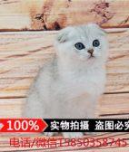纯种苏格兰折耳猫幼猫 蓝白猫英国短毛猫 英短蓝白折