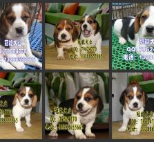 深圳宝安区哪里有卖比格犬 深圳福田区哪里有卖宠物狗